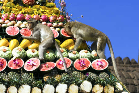 Monkeys are feeding themselves in the annual feast held for monkeys in Lopburi, Thailand. Fruits and vegetables are offered to monkeys during the annual festival to help promote tourism in the area. photo