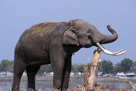 river trunk: An elephant rubs its tusks againt a tree trunk by a river