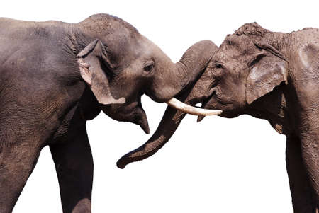 animales de la selva: Dos elefantes aislada en el fondo blanco