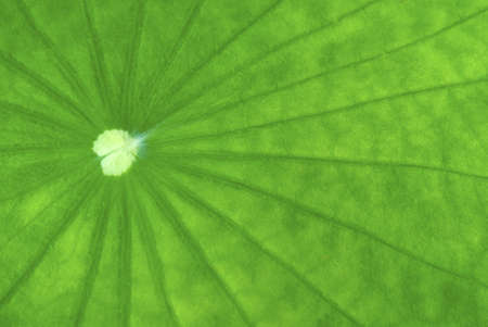 Close up of lotus leaf showing lines and textures photo