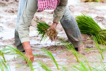 practiced: The traditional hand method of cultivating rice is practiced in Cambodia