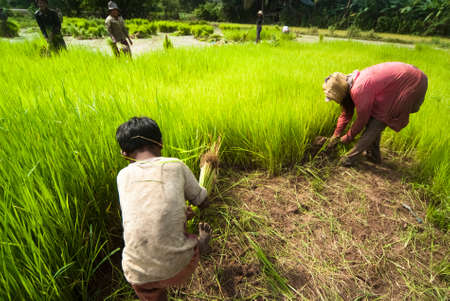 The traditional hand method of cultivating rice is practiced in Cambodia photo
