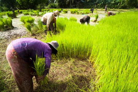 The traditional hand method of cultivating rice is practiced in Cambodia