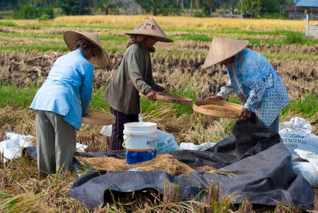 BALI, INDONESIA – MAY 6  Rice winnowing in the field on May 6, 2013 in Bali, Indonesia  Bali is able to produce rice all year round because of the Subak system which manages the water supply system for farmers in the dry season