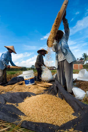winnowing: BALI, INDONESIA – MAY 6  Rice winnowing in the field on May 6, 2013 in Bali, Indonesia  Bali is able to produce rice all year round because of the Subak system which manages the water supply system for farmers in the dry season  Editorial