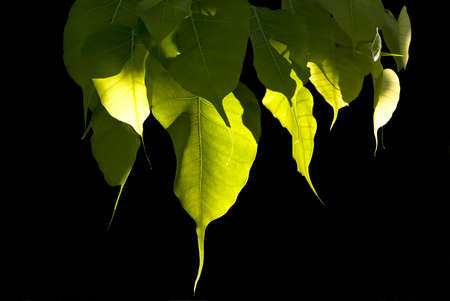 Bodhi leaves on black background photo