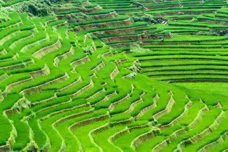 Green Terraced Rice Field in Sapa, Vietnam photo