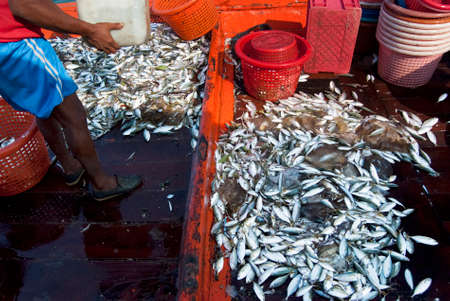 commercial fisheries: Mackerel piled up after being hauled on board, Samutsakorn, Thailand Editorial