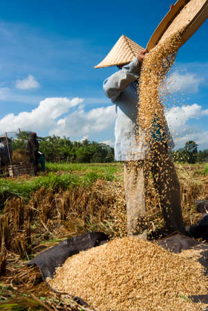 BALI, INDONESIA – MAY 6: Rice winnowing in the field on May 6, 2013 in Bali, Indonesia. Bali is able to produce rice all year round because of the Subak system which manages the water supply system for farmers in the dry season. Editorial