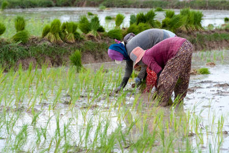 Rice transplanting in Siam Reap, Cambodia