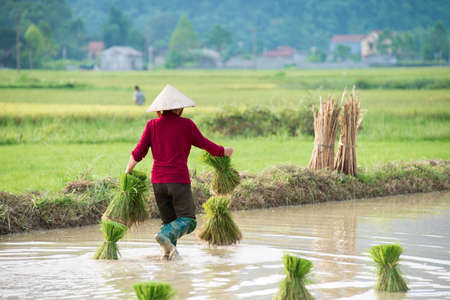 transplanted: Rice crops are being transplanted by a farmer in Vietnam