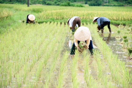 transplanted: Rice crops are being transplanted by farmers in Vietnam