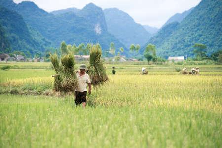 land use: BAC SON, VIETNAM - 12 luglio: Farmer trasporta fasci di steli di riso attraverso le risaie il 12 luglio 2014 a Bac Son, Vietnam. In Vietnam, nuclei familiari e le persone non possono possedere terra, ma saranno concessi i diritti di uso del suolo da parte dello Stato. Editoriali