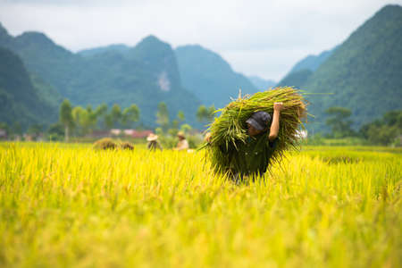 land use: BAC SON, VIETNAM - JUL 12: Farmer carries sheaves of rice stalks across the paddies on July 12, 2014 in Bac Son, Vietnam.  In Vietnam,  individuals cannot own land but will be granted with the land use rights by the State.