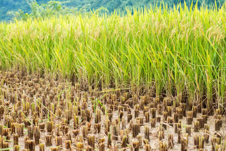 partly: Paddy field partly harvested Stock Photo