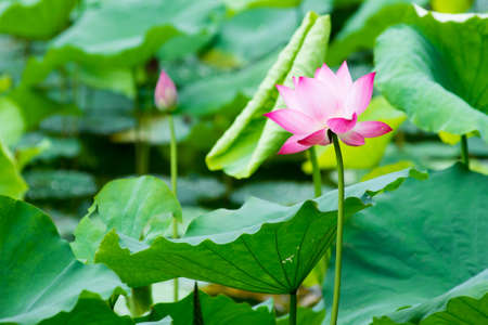 Pink blooming waterlily surrounded by green leaves