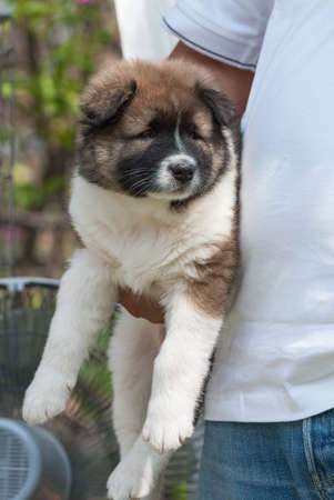 saint bernard: Saint Bernard puppy held tight by its owner