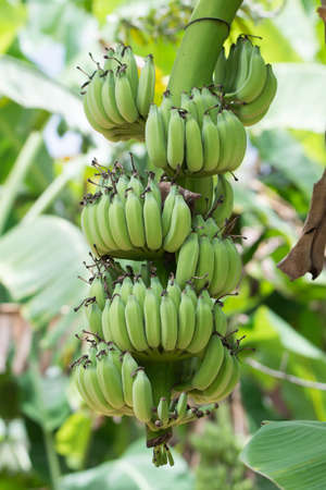 Bunch of banana tiers, home grown in Thailand Stock Photo