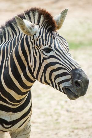 Zebra head shot Archivio Fotografico - 35079295