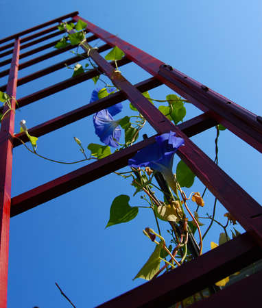 Morning glory in bloom cliimbing red trellis shot from ground level Stock Photo