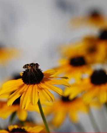 susan: been on black eyed susan flower macro