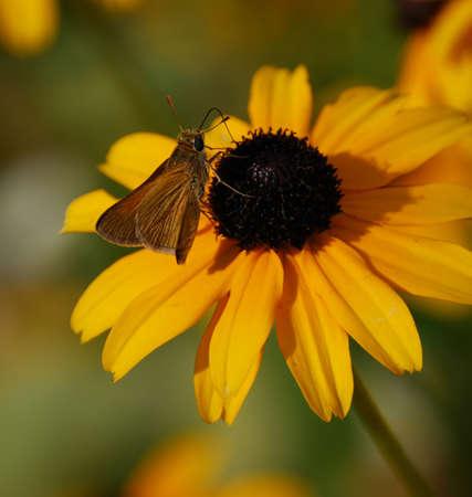 蛾、黒目のスーザン、昆虫、花、花粉、黄色、花弁、黄色、自然、植物、翼、