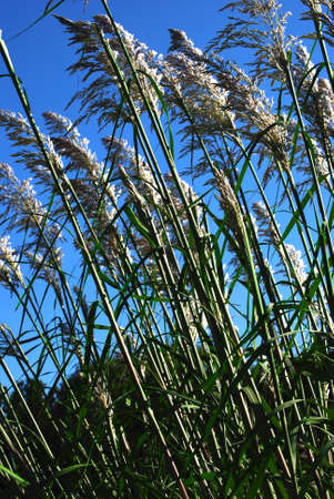 深い青空予防風に揺れる背の高い草は、晴れた日に撮影