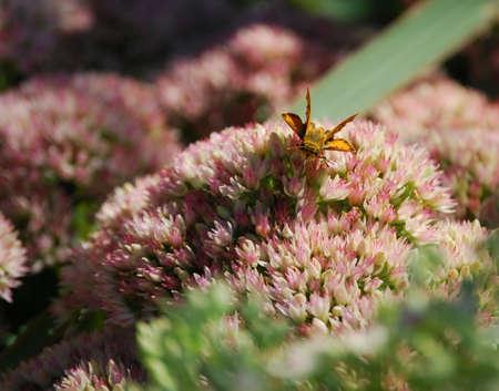 自然後期北西インディアナでオレンジ色の蛾 8 月 写真素材