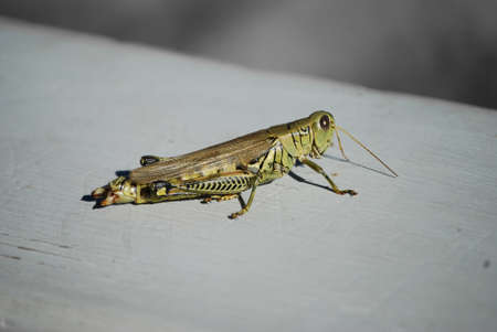 grasshopper on a sunny fall day in NW Indiana