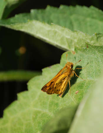 orange moth in natural setting NW Indiana late august