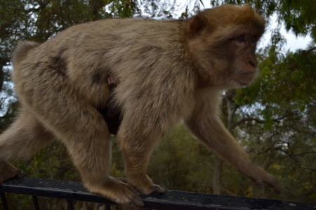 barbary: Female Gibraltar Barbary macaque with young