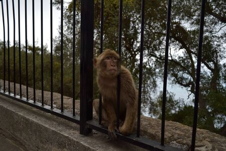 barbary: Young Gibraltar Barbary macaque Stock Photo