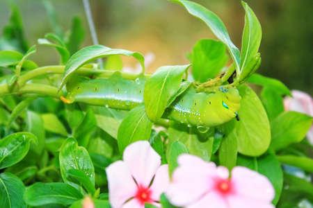 緑の葉を食べる毛虫と成長を続けます。 写真素材