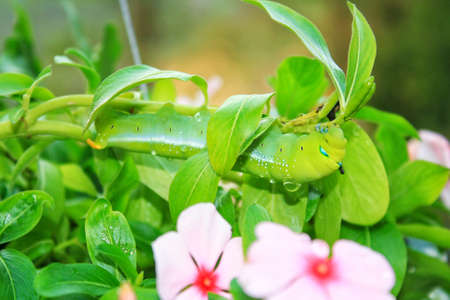 Green caterpillars eating leaves and continue to grow. Stock Photo