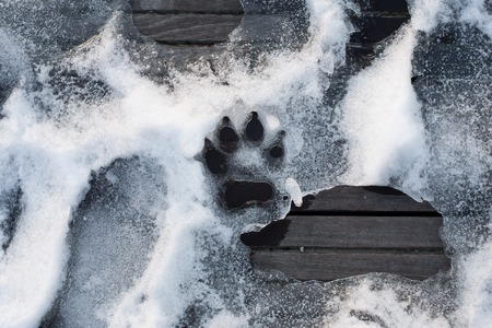 huella pie: trace of dog paw on the snow; print of animal foot; footprint of animal on ice Foto de archivo
