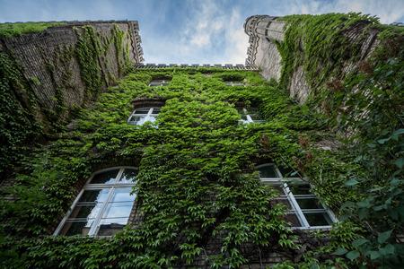 grape ivy leaves on bricks of house; Stock Photo