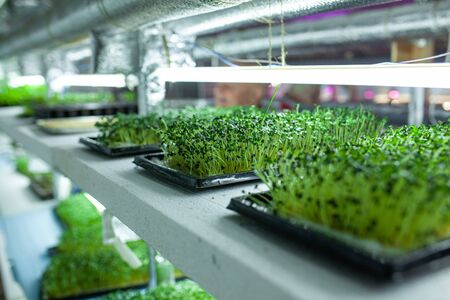 hydroponic farm with green mustard and growing vegetables