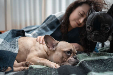 female and couple cute french bulldog dogs resting on bed with plaid at home 版權商用圖片