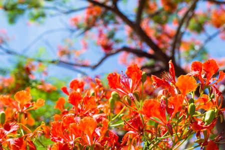 Royal Poinciana Tree,  Flame Tree or Peacock Flower