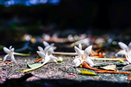 Indian Cork flower fall on  ground