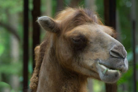 Close up of camel eating grass photo