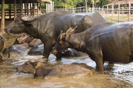 wallowing: Buffalo wallowing in a mud