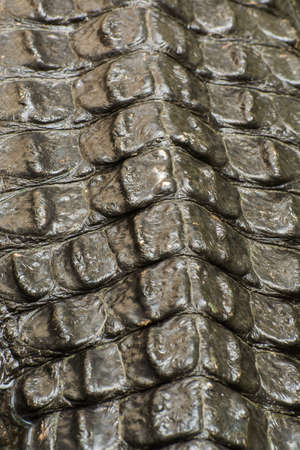 alligator eyes: Close up of crocodie skin