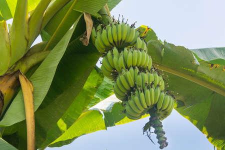 albero da frutto: Green banana on banana tree Archivio Fotografico