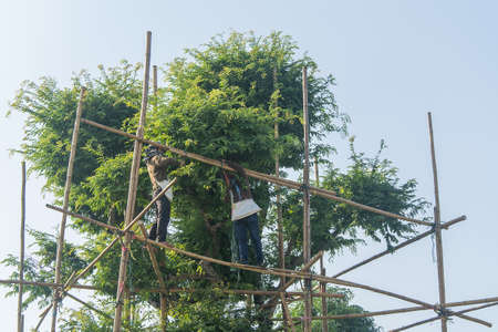trimming: Worker preparing scaffolding for tree trimming Stock Photo