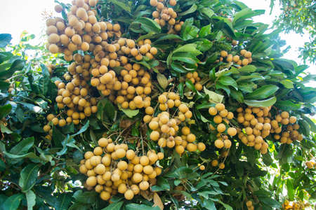 string together: close up of fresh longan on garden Stock Photo