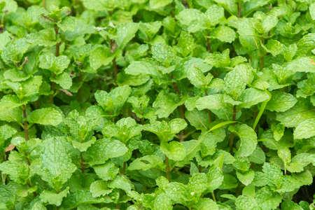 sanguine: Green buds of kitchen mint plant