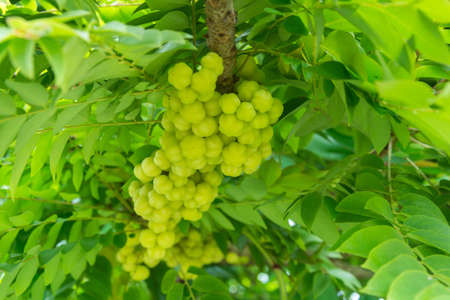 gooseberry: Fresh star gooseberry with leaf in garden
