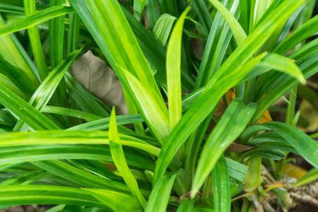 pandan: Green pandan leaves in garden