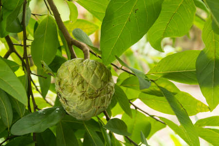 custard apple fruit: Custard apple fruit in garden